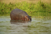 Hippopoamus stays in the water — Stock Photo