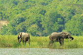 Elephants on the coast of the river — Stockfoto