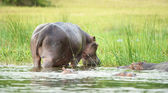 Hippopotamus in Africa fron the back — Stock Photo
