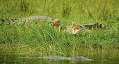 Crocodilos com a boca aberta — Fotografia Stock