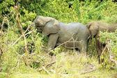 Elephants in the jungle — Stock Photo