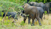 Flock of elephants walk away — Foto de Stock