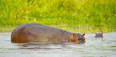 Hippopotamus in the water — Stock Photo
