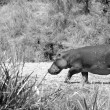 Hippopotamus walks in the field - Stockfoto