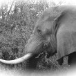Elephant in black and white - Stock Photo