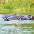 Hippopotamus play in the water — Stock Photo