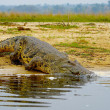 Crocodile is about to swim — Stock Photo