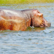 Stock Photo: Hippopotamus in the water