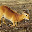 Stock Photo: Antelope on knees