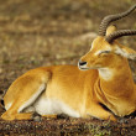 Antelope from Uganda, Africa — Stock Photo #13926554