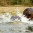 Stock Photo: Hippopotamus goes down water