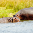 Hippopotamus — Stock Photo #13926599