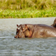 Couple of hippopotamus together — Stock Photo