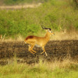 Stock Photo: Antelope jumos in Uganda