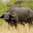 Stock Photo: African buffalo