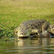 Crocodile enters into the water — Stock Photo