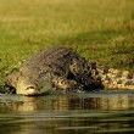 Crocodile on the coast of the river — Stock Photo