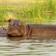 Hippopotamus in the water — Stock Photo