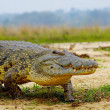 African crocodile — Stock Photo #13926766