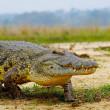 African crocodile — Stock Photo