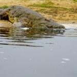 Crocodile enters the water — Stock Photo