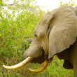 Stock Photo: Elephant in the jungle of Africa