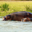 Hippopotamus in the river — Stock Photo