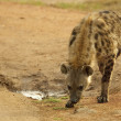 Stock Photo: Hyenwith spots