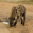 Stock Photo: Portrait of hyenfrom Uganda