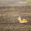 Antelope lays on ground — Stock Photo #13927267