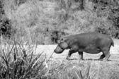 Hippopotamus walks in the field — Stock Photo