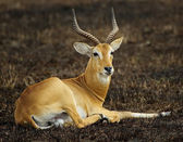 Portrait of a laying antelope — Stock Photo