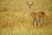 Young antelope in Africa — Stock Photo