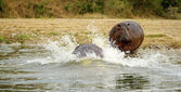 Hippopotamus goes down the water — Stockfoto
