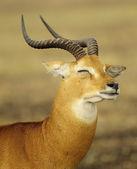 Antelope shuts the eyes — Stockfoto