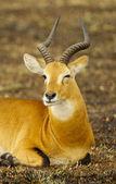 Cute antelope blinks — Stock Photo