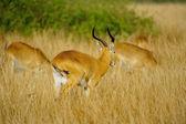 Antelopes run in the grass — Stock Photo