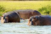 Family of hippopotanus swim in the river of Uganda — Stock Photo