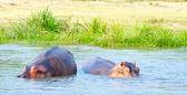 Hippopotamus in the river of Africa — Stock Photo
