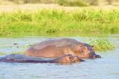 Hippotamus dans l'eau sur une moitié — Photo