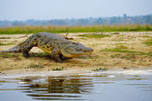 Crocodile enters into the water — Stockfoto