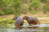Two hippopotamus on the bank of the river — Stock Photo
