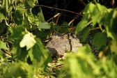 Crocodile hides in the plants — Stock Photo