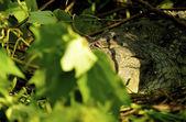 Crocodile on the ground — Stock Photo