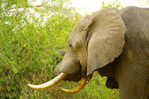 Elephant in the jungle of Africa — Stock Photo