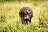 Alone hippopotamus on the grass — Stock Photo