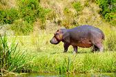 Hippopotamus walks over the grass — Stock Photo
