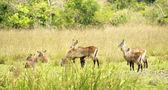 Flock of antelopes — Stock Photo
