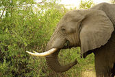 Elephant from Africa — Stock Photo