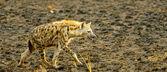 Hyena walks over the sand — Stock Photo